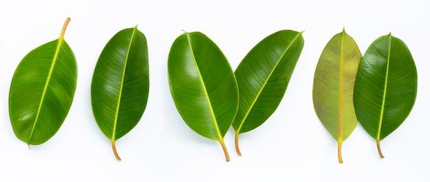 Folhas da planta da borracha em branco.