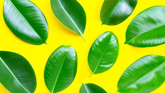 Folhas da planta da borracha em fundo amarelo. vista do topo