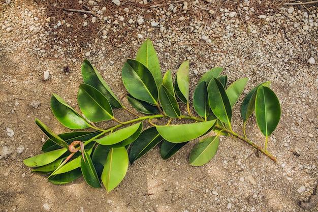 Folhas da planta de borracha cortadas por pessoas deitadas no chão.
