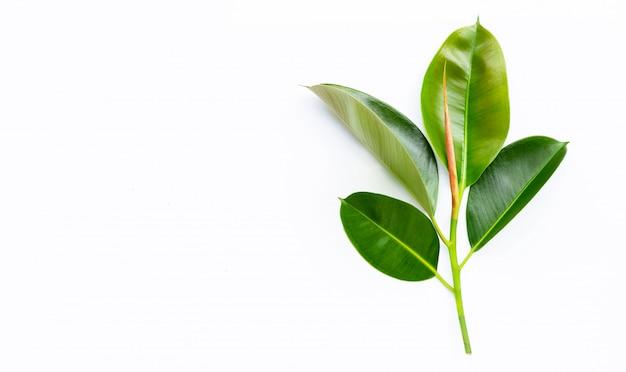 Folhas da planta de borracha no fundo branco. copie o espaço