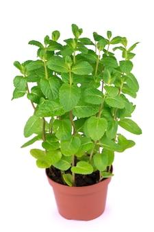 Folhas da planta do vaso de hortelã-pimenta fresca no fundo branco isolado.