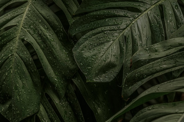 Folhas da planta monstera deliciosa molhada em um jardim