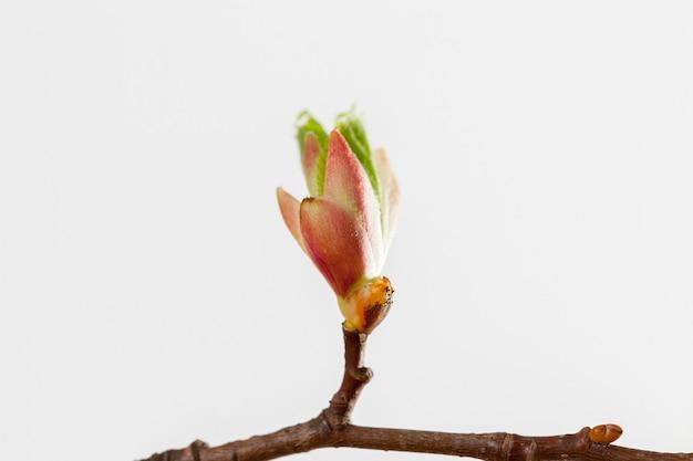 Folhas da variedade de bordo, sobre um fundo claro, primavera