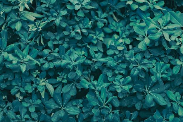 Folhas de acácia são de cor verde escuro, textura