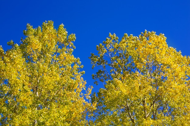 Folhas de álamo amarelo detêm no céu azul