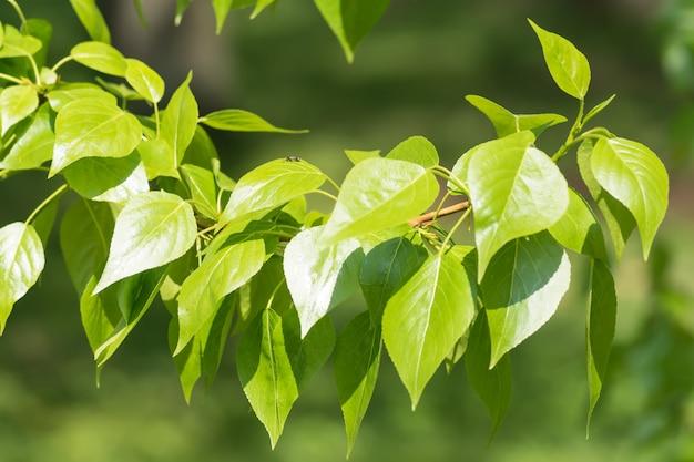Folhas de álamo verde isoladas no fundo branco.