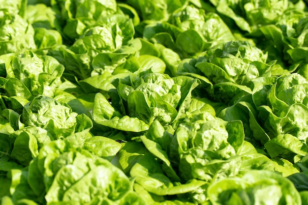 Folhas de alface butterhead fresca, fazenda de hidroponia vegetal de saladas