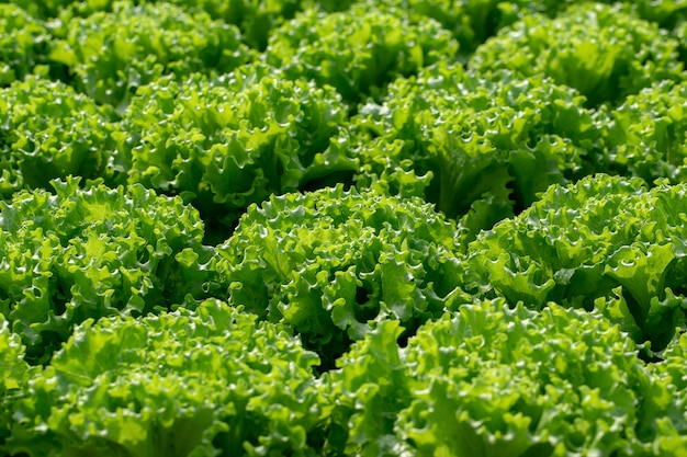 Folhas de alface fresca frillice iceberg, fazenda de hidroponia vegetal de saladas