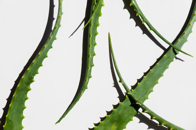 Folhas de aloe vera para tratamento de beleza