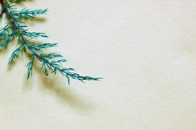 Folhas de asparaga, asparagus setaceus, aspargos trepadores ou aspargos ferny, em fundo branco