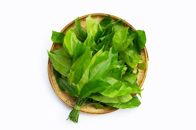 Folhas de baegu ou melinjo na superfície branca.