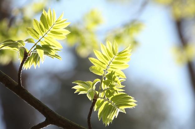 Folhas de bagas de spring rowan