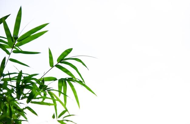 Folhas de bambu no fundo branco