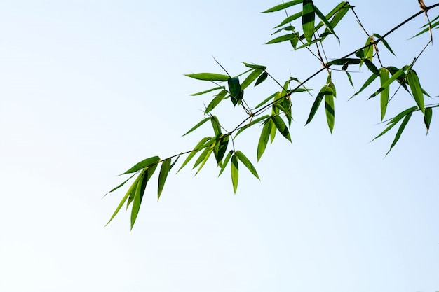 Folhas de bambu verde closeup bonito