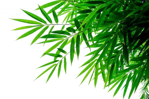 Folhas de bambu verde em um fundo branco