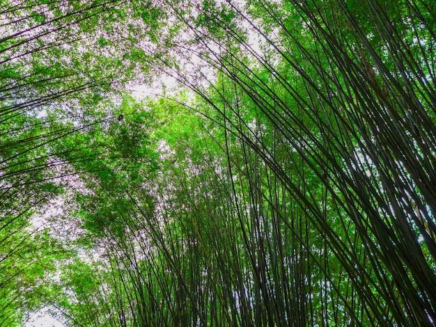 Folhas de bambu verde no dia ensolarado
