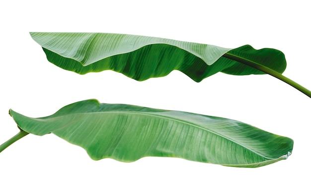 Folhas de banana isoladas no fundo branco com traçado de recorte