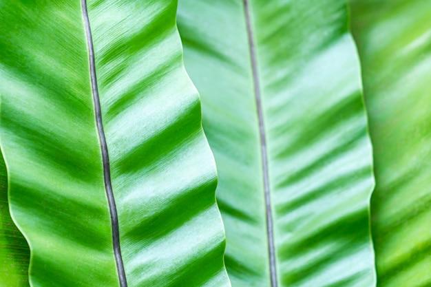 Folhas de bananeira perto - espaço verde texturizado