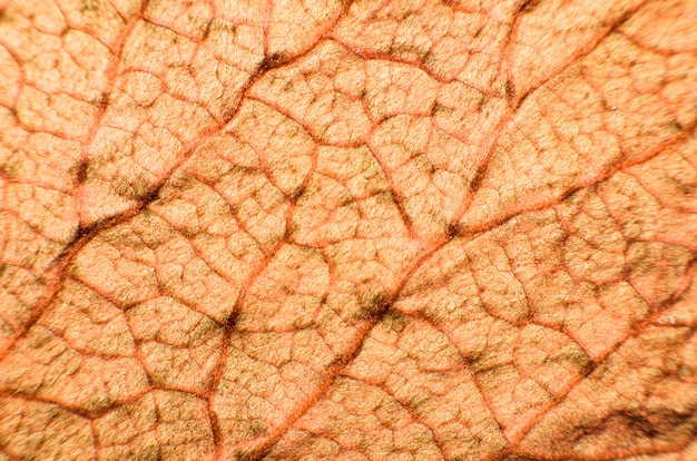 Folhas de bauhinia aureifolia