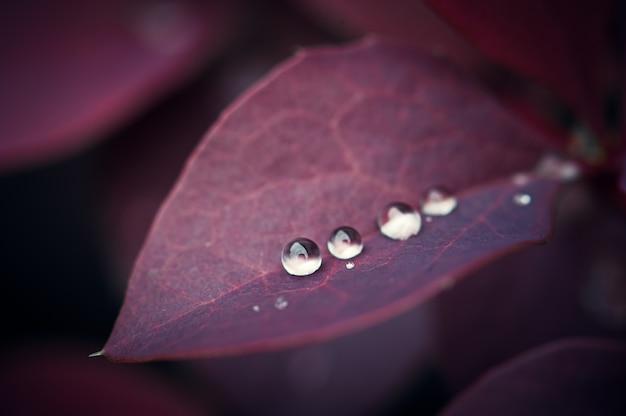 Folhas de bérberis violeta, rosa, roxo com gotas de orvalho e chuva