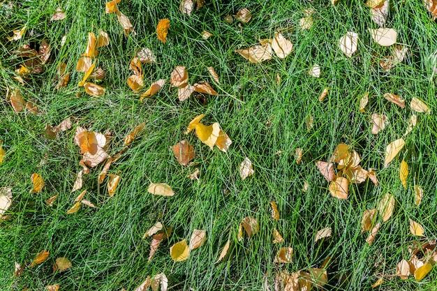Folhas de bétula caídas amarelas mentem na grama verde. como pano de fundo natural.