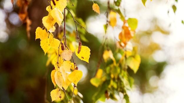 Folhas de bétula de outono douradas em um fundo desfocado