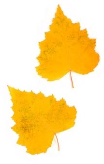 Folhas de bétula de outono isoladas na superfície branca
