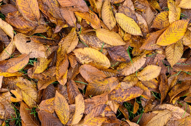 Folhas de bétula seca no chão. fundo de outono, textura de outono. tempo de outono