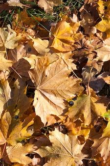 Folhas de bordo amareladas caídas no chão na temporada de outono. profundidade de campo pequena. a cor da folhagem não é brilhante