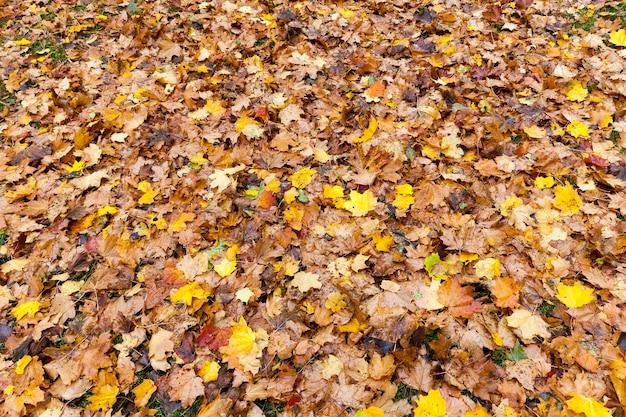 Folhas de bordo amareladas caídas no chão na temporada de outono. profundidade de campo pequena. a folhagem é iluminada pela luz do sol.