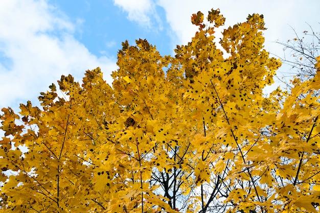 Folhas de bordo amareladas - close-up fotografado de amarelado no outono, a folha de bordo, estação do outono, uma pequena profundidade de campo