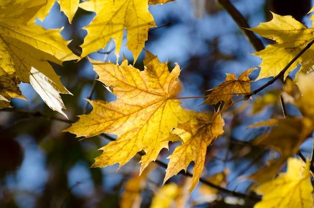 Folhas de bordo amarelas brilhantes do outono sob a luz solar. fundo sazonal