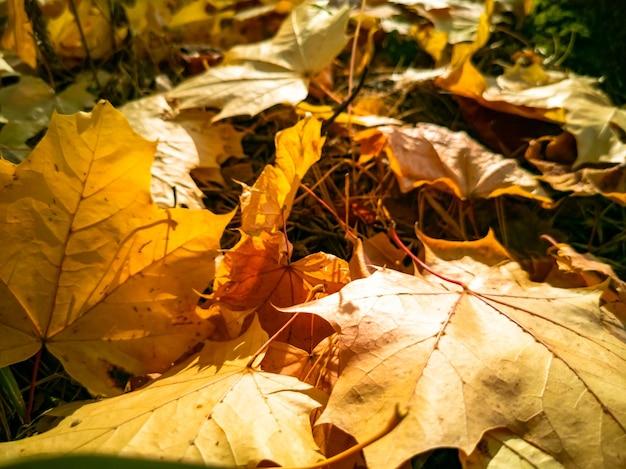 Folhas de bordo amarelas caídas de fundo de outono lindas caídas no chão sob a luz do sol como um tapete