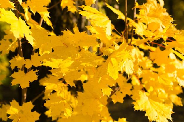 Folhas de bordo amarelas da queda iluminadas pelo fundo natural do sol.