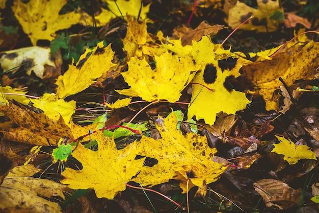 Folhas de bordo amarelas desbotadas no chão na floresta. folhas de outono