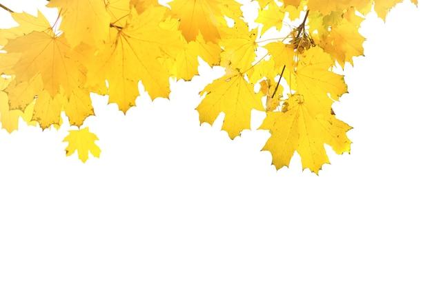 Folhas de bordo amarelas do outono isoladas no fundo branco