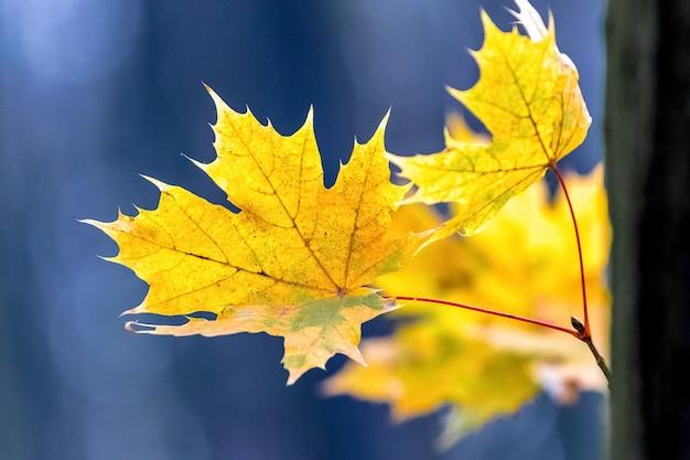 Folhas de bordo amarelas em um fundo azul desfocado
