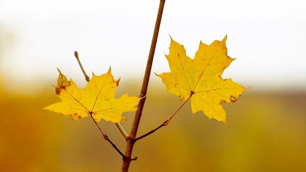 Folhas de bordo amarelas em um galho de árvore em um fundo desfocado