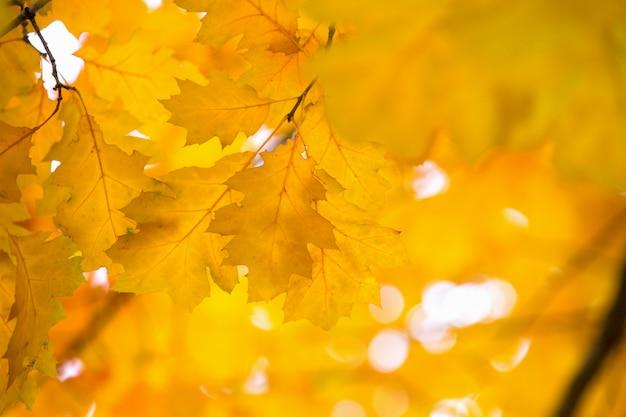Folhas de bordo amarelas em um galho no outono