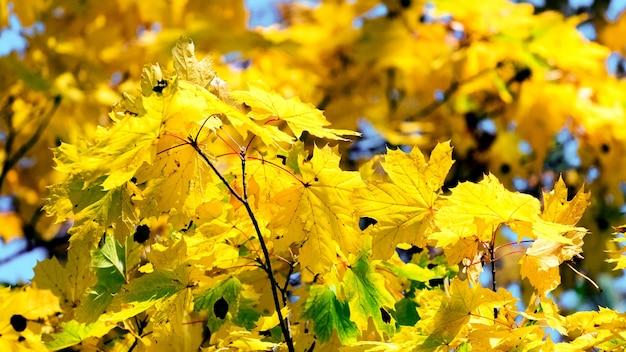 Folhas de bordo amarelas em uma árvore em tempo ensolarado