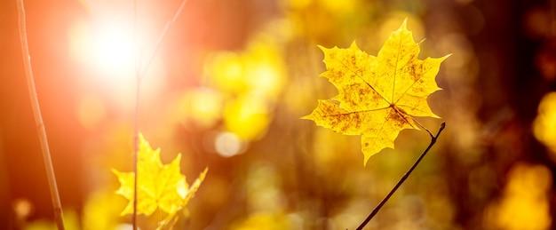Folhas de bordo amarelas em uma árvore na floresta de outono durante o pôr do sol em tons quentes de outono