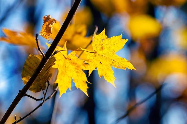 Folhas de bordo amarelas em uma árvore na floresta de outono