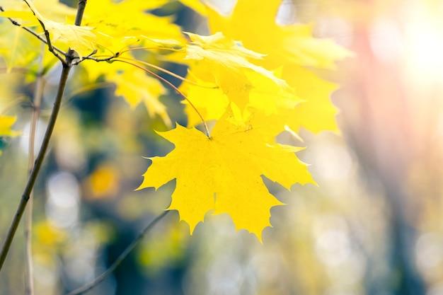 Folhas de bordo amarelas em uma árvore no outono em cores claras