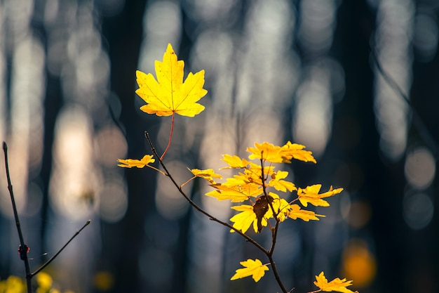 Folhas de bordo amarelas em uma floresta escura de outono