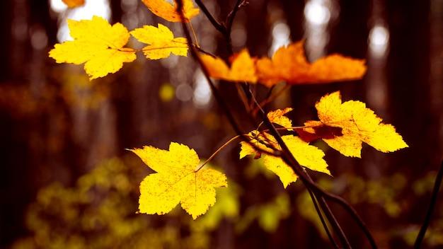 Folhas de bordo amarelas em uma floresta escura em um fundo desfocado em cores quentes