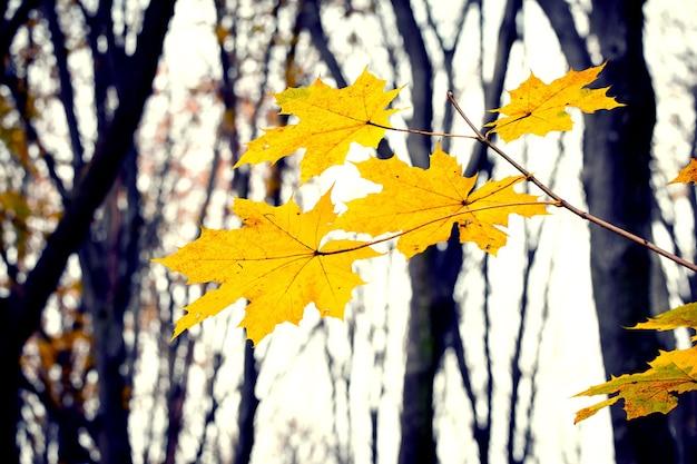Folhas de bordo amarelas na floresta de outono em um fundo de árvores nuas