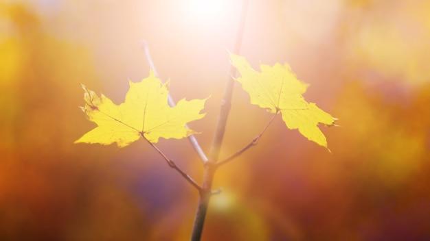 Folhas de bordo amarelas na floresta em uma árvore à luz do sol