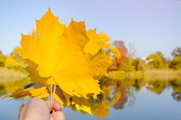 Folhas de bordo amarelas na mão