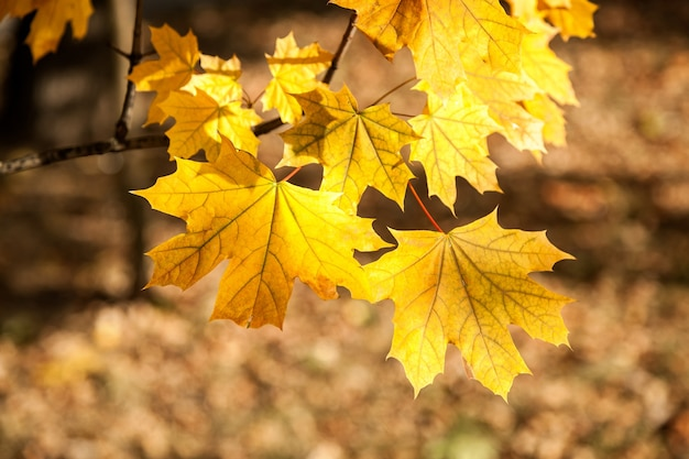 Folhas de bordo amarelas parque de outono as folhas amarelas nas filiais design de tema de outono criativo