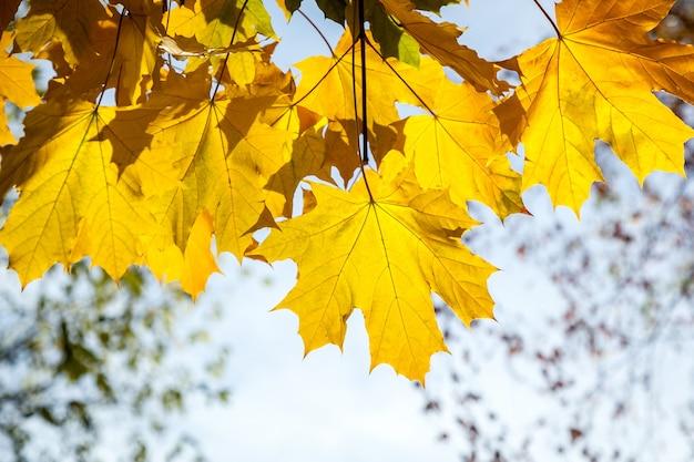 Folhas de bordo amarelas parque de outono dourado tempo de outono, as folhas amarelas nos galhos